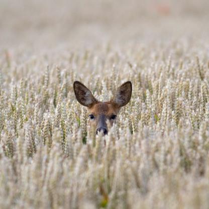 Roe Doe in the Wheat
