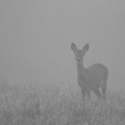 Young Buck in the morning mist