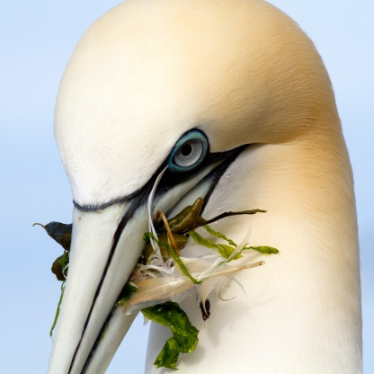 Gannet with nesting weed