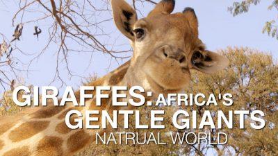 Giraffes: Africa's GentleGiants