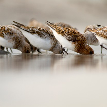 Sanderling's feeding
